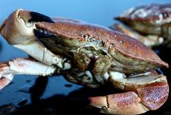Hel kogt krabbe